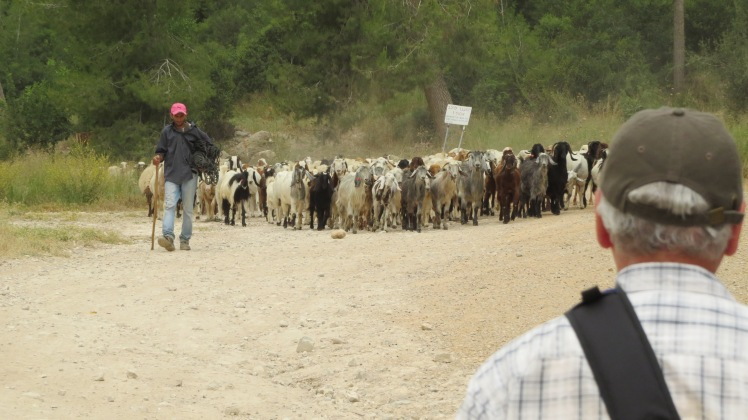A shepherd leading his flock. (A special for the day)