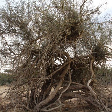 Thorn tree Judges